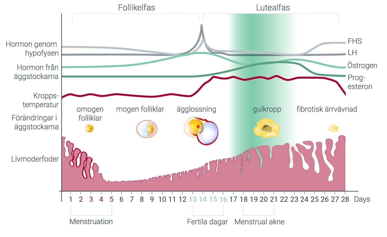 minska östrogen hos män